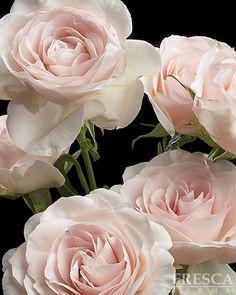 Blush Spray Rose