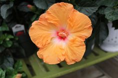 Mandarin Wind Hibiscus, a tropical plant with creamsicle orange flowers that attracts butterflies and hummingbirds Dream Garden, Home And Garden, Flowers That Attract Butterflies, Commercial Landscape Design, Landscape Services, Orange Flowers, Tropical Plants, Hummingbirds, Outdoor Ideas