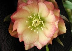 Click to view full-size photo of Amber Gem Hellebore (Helleborus 'Amber Gem') at Woldhuis Farms Sunrise Greenhouses