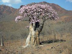 SOCOTRA Yemen - Adenium obesum.