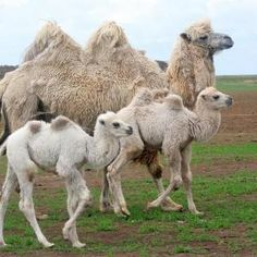 Baby camels with mama! Animals Of The World, Animals And Pets, Baby Animals, Cute Animals, Alpacas, Beautiful Creatures, Animals Beautiful, Bactrian Camel, Camelus