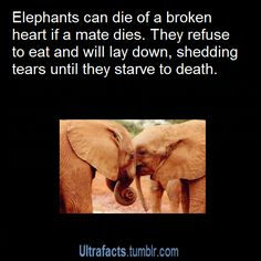 [sc [sc Elephants love too [sc Animal Facts, My Animal, Animal Memes, Elephant Facts, Elephant Love, Wtf Fun Facts, Funny Facts, Animals And Pets, Cute Animals