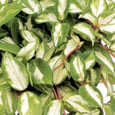 1000 images about hoyas on pinterest hoya plants wax for How to take care of exotic angel plants