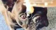 O Cheiro Deste Peixe é Tão Fedorento Que Nem o Bulldog Consegue Comê-lo http://www.desconcertante.com/o-cheiro-deste-peixe-e-tao-fedorento-que-nem-o-bulldog-consegue-come-lo/