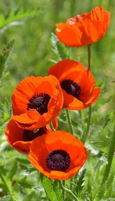 Today, poppies have been linked with Flanders fields as an emblem of people who died in World War I. Maintaining knowledge of these essential facts about how to grow poppies is critical. Plant Oriental poppy where you desire it. Orange Flowers, Red Poppies, Wild Flowers, Beautiful Flowers, Poppy Flowers, Orange Poppy, Poppy Flower Garden, Poppies Art, Oriental Flowers