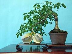 [Mini bonsái] lindo! Fruta también de bonsai del mundo - NAVER Resumen