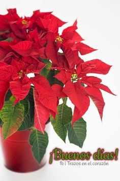 How to Care for Poinsettias The deep crimson bloom of the poinsettia (Euphorbia pulcherrima) in the depth of winter, makes it a Christmas Cactus Plant, Poinsettia Plant, Euphorbia Pulcherrima, Diy Nagellack, Christmas Crochet Patterns, Crochet Ornaments, Crochet Snowflakes, Crochet Christmas, Gold Christmas Decorations