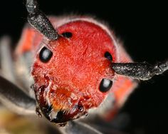 Red Milkweed Beetle by M. Beautiful Bugs, Little Monsters, My Images, Insects, Creatures, Nature, Animals, Beetles, Photos