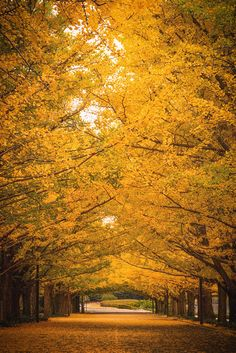 Yellow tunnel of Autumn #AutumnLeaves