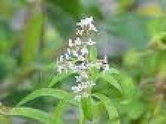 Aloysia tripilla: Té cedrón, hierba luisa, verbena olorosa.Las hojas y las flores exhalan un aroma suave y por eso se ha usado en perfumería, como planta medicinal e incluso en pastelería. Los tallos con hojas se utilizan como complemento en arreglos florales.