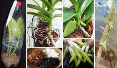 A orquídea precisa ser bem limpa. Para isso, corte as raízes mortas. As raízes mortas são aquelas com aparência escura e apodrecidas. Mantenha todas as...