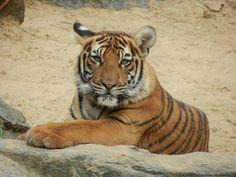 tiger cub by AnimalPhotographer