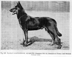Working-bred German Shepherd, 1912. Bearing little resemblance to modern German Shepherds, the early German Shepherd had an athletic structure with a straight, level back and powerful hind legs. This was a dog that could perform any job asked of him, whereas most purebred contemporary Shepherds have hips too low and backs too arched to withstand the rigors of a long working day.