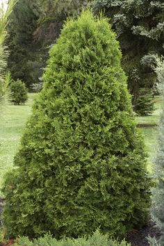 Emerald Arborvitae - Monrovia  Thuja occidentalis 'Emerald' USDA Hardiness Zone: 4 - 8 Full sun, Needs regular watering - weekly, or more often in extreme heat. Moderate grower to 15 ft. tall, 3- 4 ft. wide. Narrow, pyramidal evergreen displaying dense emerald green foliage. Holds its foliage color throughout winter. Excellent medium to large hedge or screening plant.
