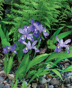 Crested iris is among the few irises that thrive in shade  In my garden, drifts of crested iris weave among larger perennials in late spring or early summer, forming a carpet beneath a dogwood tree (Cornus sp., Zones 2–9). This miniature iris blooms in white, blue, or lavender above sword-shaped foliage. Creeping rhizomes lie just below or at the soil's surface and form a weed-suppressing thatch. There are many varieties to choose from of this popular native plant—all of which thrive in…