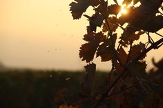 Sun is going down in the vineyards Germany RLP [OC] [5184x3456]