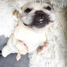 You guys!!!! I'm SOOOOARING into new heights! just kidding, teehee. The picture is just upside down but really, I AM soaring to new heights in life n stuff.  French Bulldog