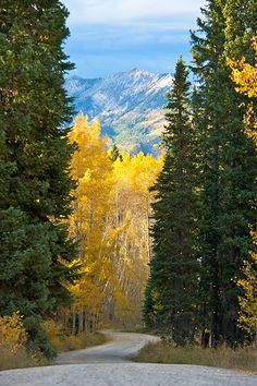 Autumn Drive - Colorado! We make this drive and I love how the Aspen leaves look like Gold blowing in the breeze! So pretty