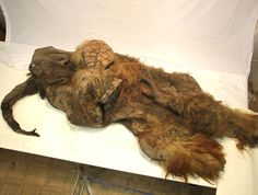 Meet Yuka. The carcass of a juvenile woolly mammoth, soft tissues beautifully preserved by the Siberian permafrost. There is evidence that the animal was brought down by apex predators — probably lions — and then poached by another predator, MAN. If the initial findings are confirmed, this will be the first mammoth carcass with preserved soft tissues ever found that bears evidence of interaction with humans. Yuka was about two and a half years old when it perished at least 10,000 years ago.