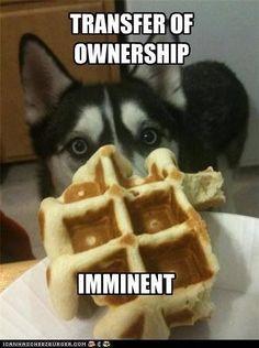 Siberian Husky eyeing your waffle