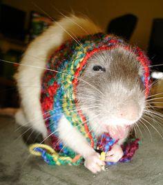 Pet rat in a sweater? Oh my God! It looks like a little Russian grandma!