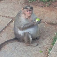 This vwry pregnant monkey came upto my car looking for food. I gave her a guava which of course attracted the attention of other monkeys. She promptly chased them away. I am studying social behaviour of monkeys for my new book.