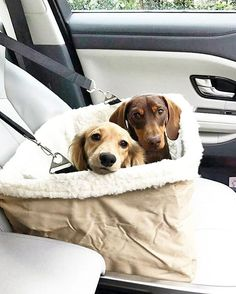 Check the link in @thedoxieworld profile and choose your Dachshund 👕 or hoodie! International shipping!📦 🐶 To be featured👉 Follow us! 👉 Use tag: #thedoxieworld 🐶 NOTE! This photo is taken and reposted from: @lincolnandteddythesausages 🐶 All images are copyright to their respective owners. 🐶