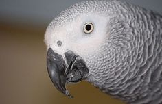 The African Gray Parrot is is a medium-sized parrot with distinctive gray feathers and white markings around the eyes, and a black bleak. The African Gray Parrot Wallpaper, Bird Types, African Grey Parrot, All About Animals, Bird Feathers, Pet Birds, Pets, Parrots, Gray