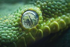 """""""Eyes on You. (III)"""" by Amizyo Hairie ~ Close up of the Green Tree Python :)"""