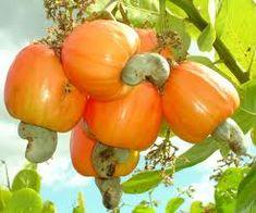 Frutas brasileiras - Pesquisa do Google Caju. Vem das pontas as castanhas de Caju, que depois de torradas sao servidas como aperitivos.   Delicias