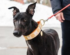 Meet RUBY, a Petfinder adoptable Greyhound Dog | Middleburgh, NY | GreyhoundAdult Neutered, teeth cleaned, shots current, .Makes an excellent family companion and...