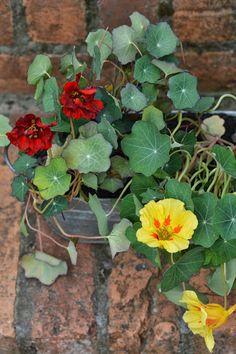 Essbare Pflanzen, die sich für jeden Balkon und Terrasse eignen.
