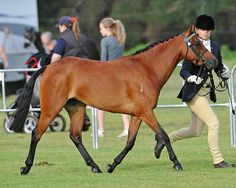The Australian Riding Pony is a breed of pony developed in Australia since the 1970s. It has been greatly influenced by the British Riding Pony, the Thoroughbred and Arabian bloodlines.