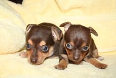 puppie female chihuahua brown chocolate | Northern Ontario Canada Classified