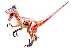 Velociraptor Anatomy Model