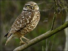I ❤ owls . . . Burrowing Owl, Photo: ~By Marc Briggs