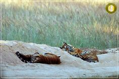When royal cubs sway in sweet slumber The jungle sings lullabies and the grass also lumbers!  Royal kitties in their catnap! Rajbehra cubs  in Magadhi Zone enjoying their afternoon siesta till the mother returns with something to feast upon! An awe-inspiring moment in #Bandhavgarh National Park Madhya Pradesh.  #wildlifephotography #Wildlife_Seekers #wildlifeholiday #madhyapradesh #tigersafari #safari #safarivacation #bigcats #InTheJungle #instapic #inditales #wildandfree…
