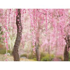 21 Of The Most Beautiful Japanese Cherry Blossom Photos Of 2014 ❤ liked on Polyvore featuring backgrounds, pictures, flowers, photos, pics, borders, filler, effect and picture frame
