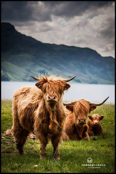 Highland coos posing on the Isle of Skye, Scotland. Scottish Highland Cow, Highland Cattle, Scottish Highlands, Farm Animals, Animals And Pets, Cute Animals, Wild Animals, Beautiful Creatures, Animals Beautiful