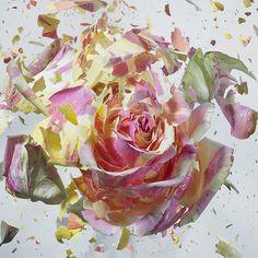 """¿Cómo se ve cuando algo tan bello y delicado como una flor estalla en mil pedazos?  El fotógrafo alemán Martin Klimas suele combinar arte y ciencia. Con su cámara de alta velocidad esta vez capturó la explosión de coloridas flores en una serie llamada """"Rapid Bloom"""". """"Quería traer el interior del florecimiento hacia el […]"""