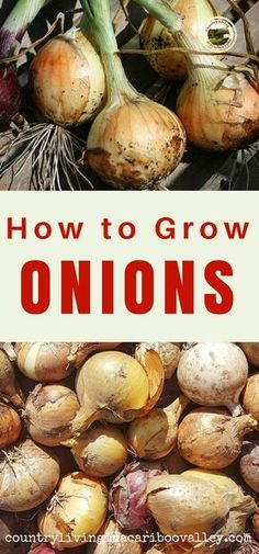 Grow onions in containers on your deck or in a wide bed in your garden. Get lots of onions in a small area.