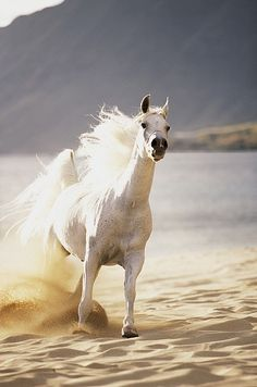 White Arabian on the beach