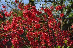A japánbirs a tavasz egyik látványossága - de ha nem biztosítod számára az igényeinek megfelelő körülményeket, levelei megsárgulhatnak. Így kerüld el!