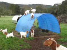 Boer Goat Kids on playing on top of their shelter  #goatvet see hints on this webpage to get similar healthy kids http://www.goatvetoz.com.au
