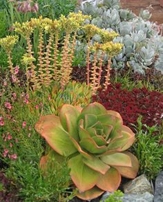 """The most thrilling succulent you'll probably ever grow! Endemic to the Canary Islands, it's easy, drought tolerant & in bloom it reaches 30"""" tall, with a mind-blowing bright red flower head 18"""" across!"""