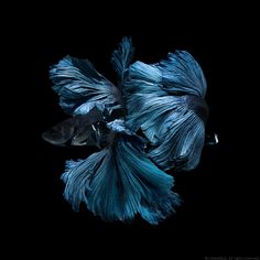 Capture the moving moment of blue siamese fighting fish isolated on black…