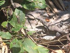 Iguana, en los Manglares de Playa del Carmen, Riviera Maya