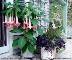 Brugmansia... can't live without it.. overwintered mine inside this year.. still waiting for the bloom... and the fragrance!!