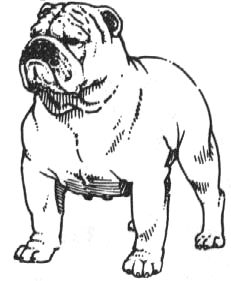 An Illustrated Guide to the Bulldog Standard, English Bulldog Standard, English Bulldog Colors, English Bulldog Size Bulldog Pics, English Bulldog Puppies, English Bulldogs, French Bulldogs, Boston Terrier, Terrier Puppies, Corgi Puppies, Equine Photography, Animal Photography