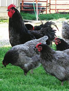 The/ Most Unique Chicken Breeds in the World
